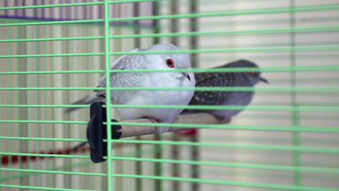 Diamond Turtledove in the cage Footage