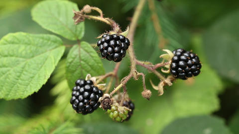 Ripe blackberries in forest Footage