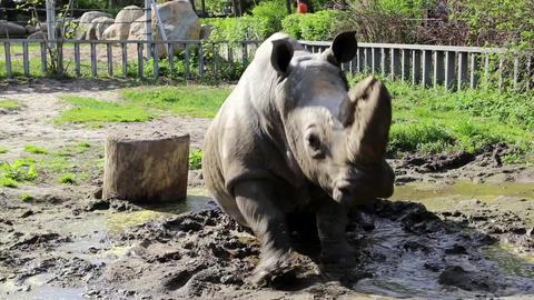 Rhinoceros in zoological garden Footage