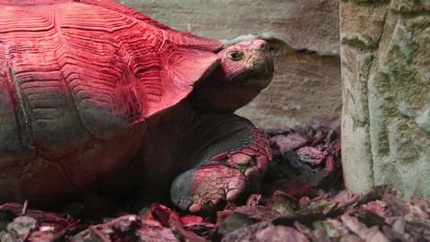 Turtle in zoological garden Footage