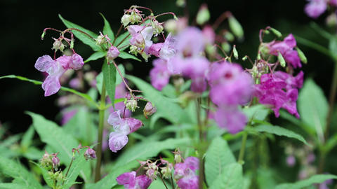 Impatiens glandulifera is large annual plant native to the Himalayas Footage