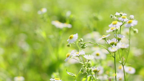 field chamomile 9 Stock Video Footage