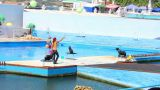 Fur Seals In The Dolphinarium 1 stock footage