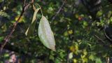 Walnut Tree In Autumn 4 stock footage