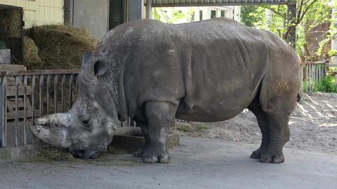 Big rhinoceros in zoo Footage