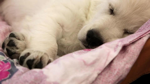 White Little Dog Sleeping stock footage