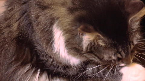 Gray cat washes. 4K Footage