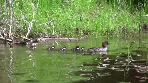 Duck Family Swimming In Lake Waters stock footage