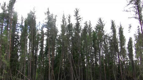 (Seamless Loop) Jack Pine Forest Swaying . Profess Live Action