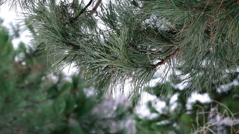 Pine Branch with Melting Snow Footage