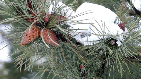 Pine Branch with Cones and Melting Snow Footage