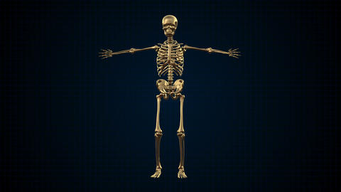 3D Animation of Human Skeleton Gold Footage