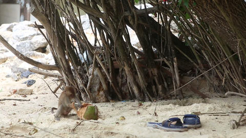 Monkey Find Food On Sandy Beach stock footage