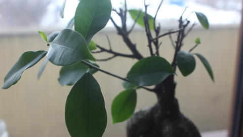 ficus ginseng in pot close up Footage