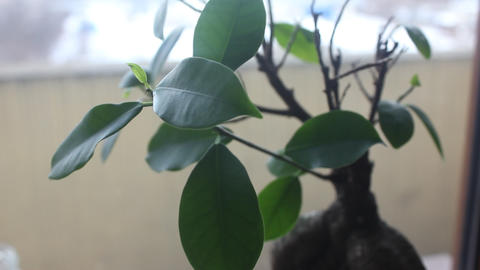 ficus ginseng in pot close up Stock Video Footage