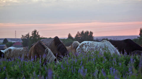 Herd of horses is grazed in the field at sunrise Footage