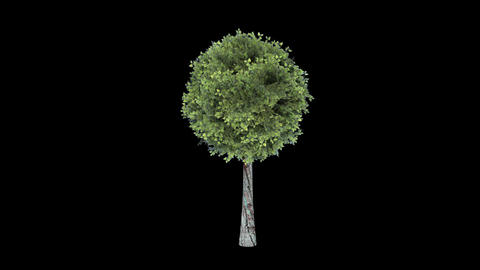 Tree in the breeze with alpha perfect for composit Footage