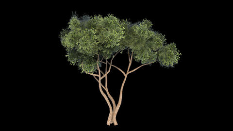 Tree with alpha perfect for compositing Animation