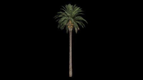 Palm tree with alpha perfect for compositing Animation