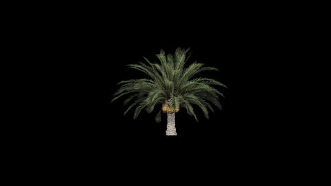 Palm tree in the breeze with alpha perfect for com Animation