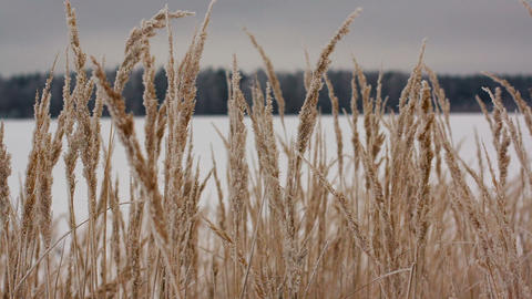 Field of winter wheat Footage