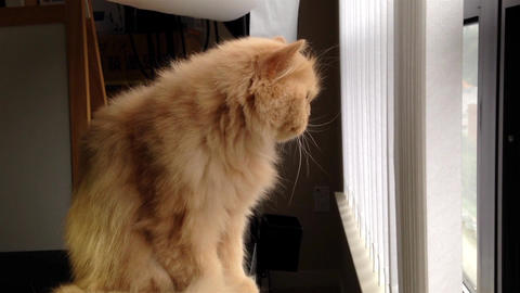 Persian cat watching outside view Footage