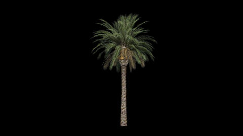 Palm tree 05 in the breeze with alpha perfect for  ビデオ