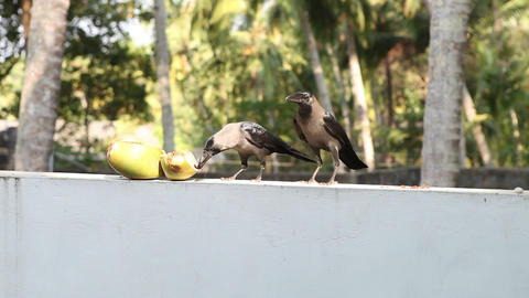 Crow sit near coconut Footage