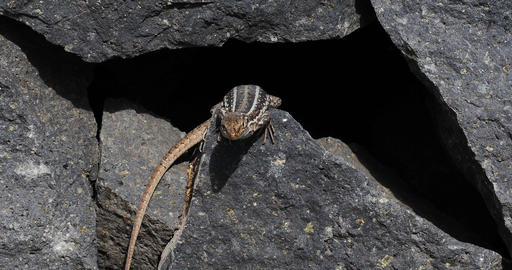 4K, Beautiful Lizzard Sitting Between Stones Of A  stock footage