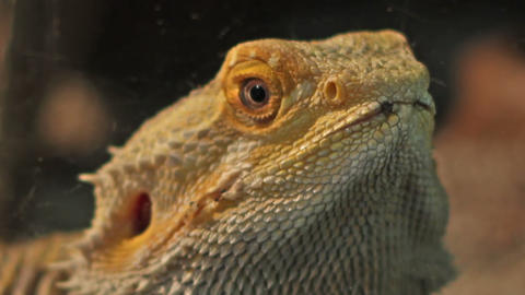 Bearded Dragon Portrait Footage