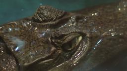 Crocodile Eyes Footage