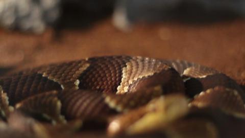 Creepy Dangerous Snake stock footage