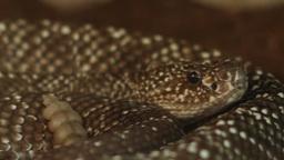 Dangerous Rattlesnake stock footage