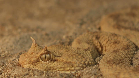 Horned Viper in Sand Live Action