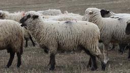 Herd of Sheep Footage