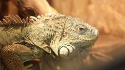 Iguana Portrait Footage