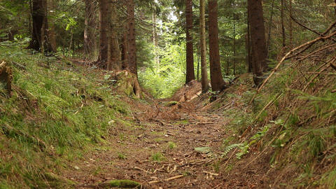 Pathway in Pine Forest Footage