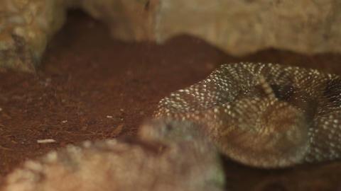 Rattlesnake Curl Footage