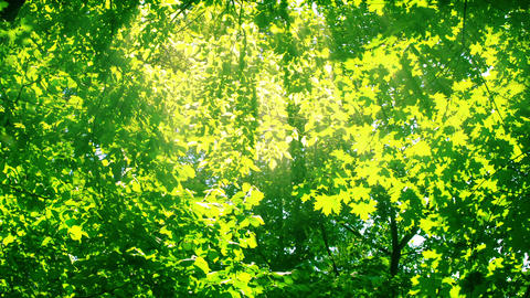Sunshine through the trees. HD 1080 Footage