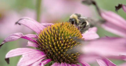 A bee sucking the flower of the coneflower Stock Video Footage