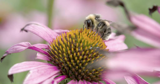 A bee sucking the flower of the coneflower Footage