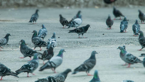 Pigeons peck feed Stock Video Footage