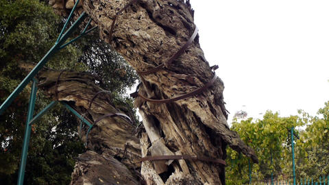 Mamvre or Abraham Oak in Hebron, Palestine Stock Video Footage