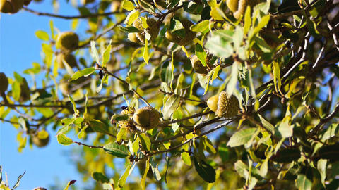 Green acorns on a tree Footage