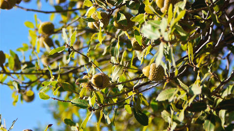 Green acorns on a tree Stock Video Footage