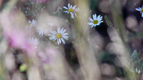 Summer meadow camomile flowers Stock Video Footage