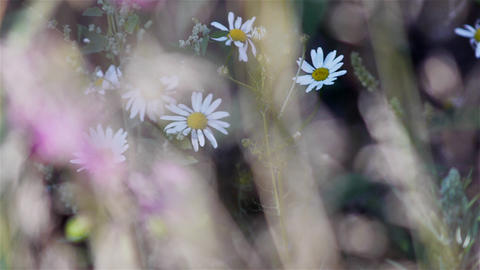 Summer meadow camomile flowers Footage