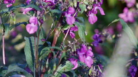 Impatiens glandulifera pink flowers Footage