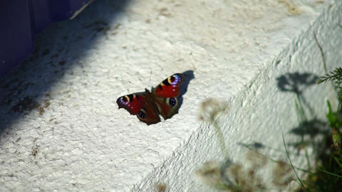 Tortoiseshell Butterfly (Aglais urticae) on concre Stock Video Footage