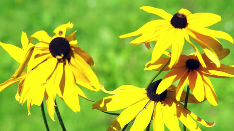 Yellow camomile flowers Stock Video Footage